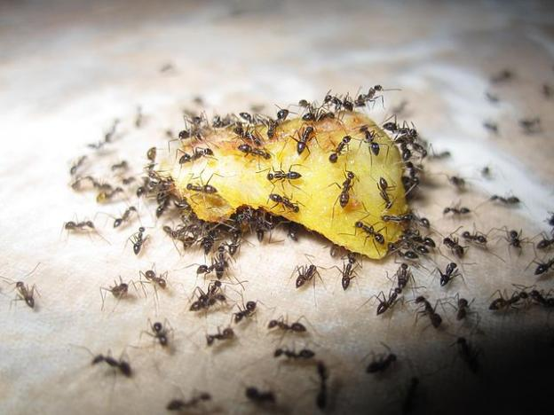We all know how it works. One ant starts the party and his buddies are close behind. Photo by Zainichi Gaikokujin.
