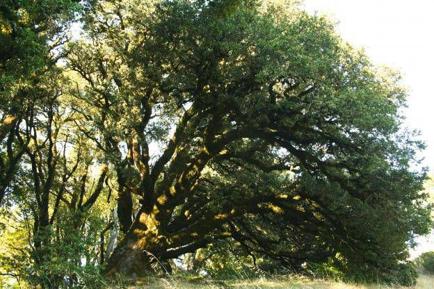 One of those ancient oaks.