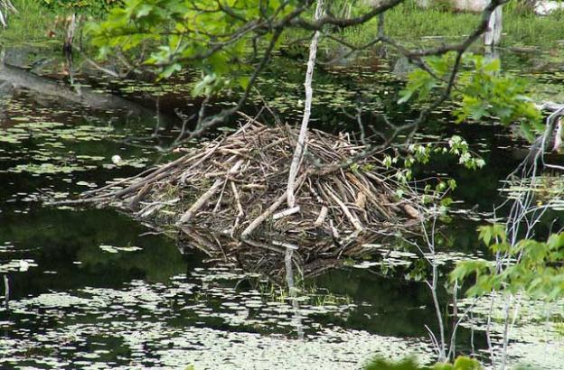 Scientists believe beavers build dams mainly to create protective moats around their lodges. Photo by Dick Bauch.