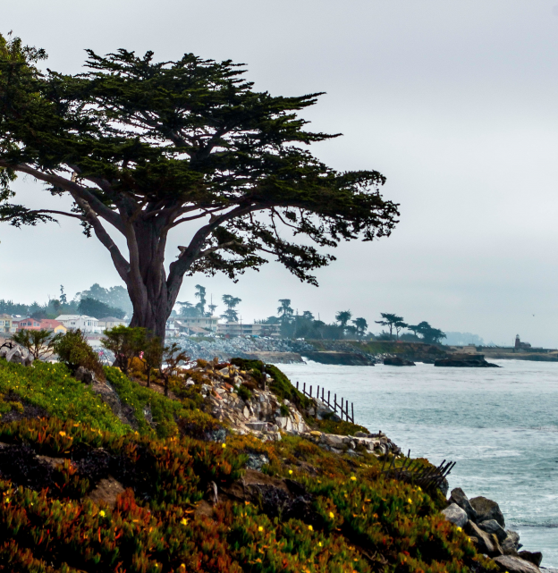A beautiful cypress tree found along West Cliff Drive in Santa Cruz. Photo by Sarah Khosla.
