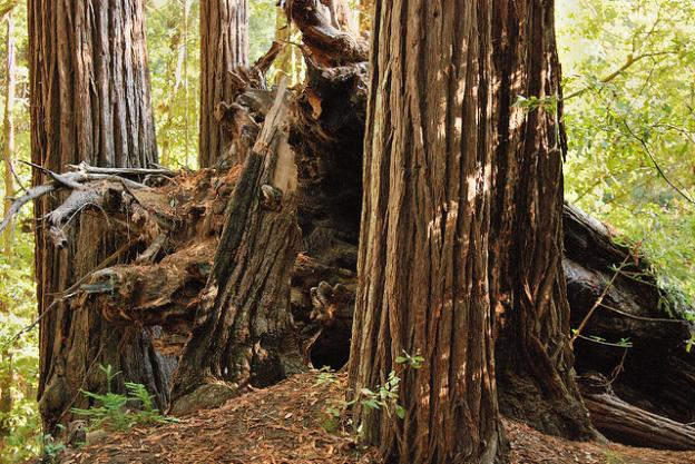A toppled redwood at Memorial Park. Photo by Caducosity/CC.