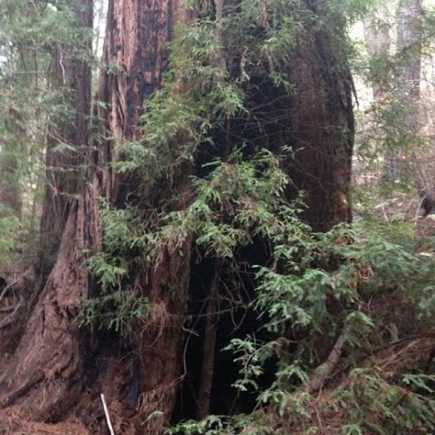 Big trees galore on the Tarwater Trail. Clark Tate photo.