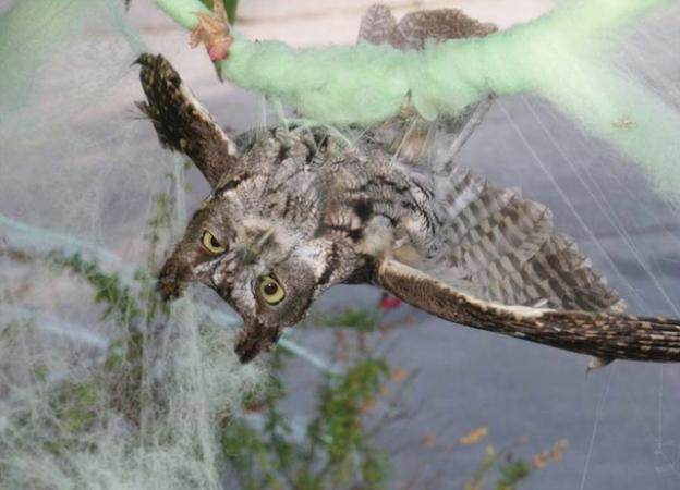 This Western screech owl didn't think it was so funny when it got tangled in fake cobwebs. Photo by Dave Stapp, Marin Humane Society.