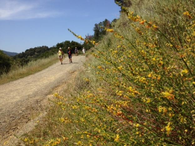 The lower section of Chamise Trail bristles with California broom and other chaparral plants. Most of the 3-mile trail is on exposed south-facing slope. Photo by Eric Johnson.