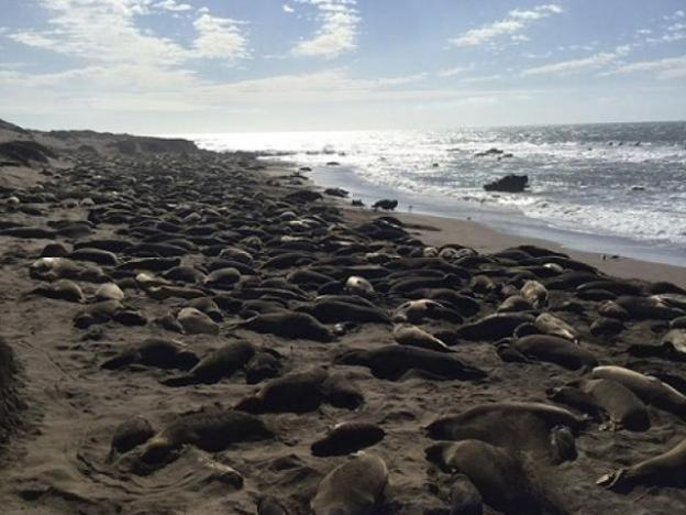 Northern Elephant Seals at Piedras Blancas. Human visitors stand on a boardwalk that hovers only a few feet above seals. Photo credit to Madeleine Turner.