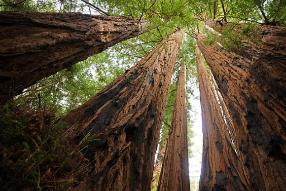 Ten of the 14 biggest trees in the Santa Cruz Mountains are found in Big Basin. Photo: Allie Caulfield