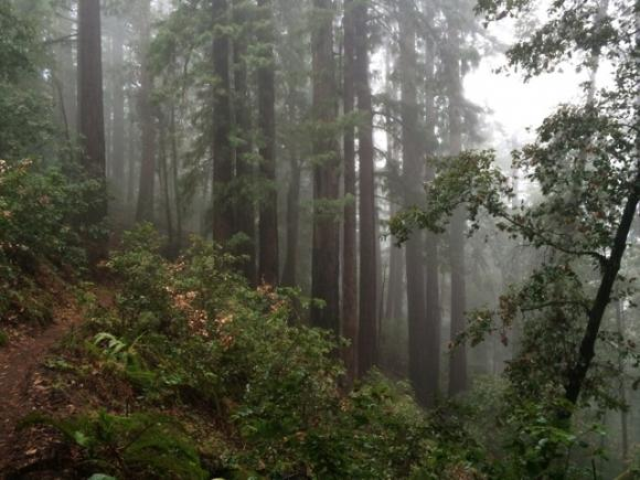 Redwoods in the mist on the Brook Trail. Hilltromper photo.