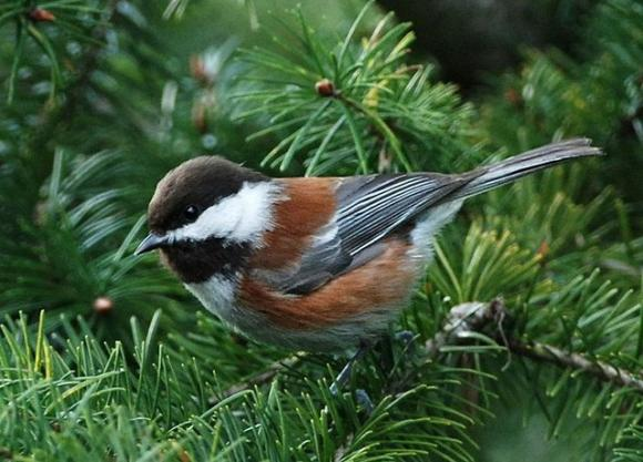 A fine example of a chestnut-backed chickadee. Photo by Minette Layne/Creative Commons.