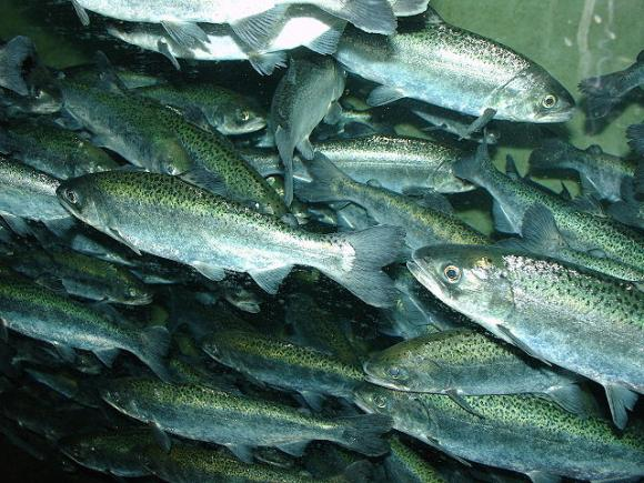 Chinook salmon are disappearing in large numbers due to the drought. Photo by Zureks / CC