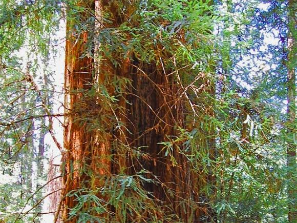 An old-growth redwood in the Heritage Grove at Sam McDonald County Park picks up the light. David McSpadden photo/Creative Commons.