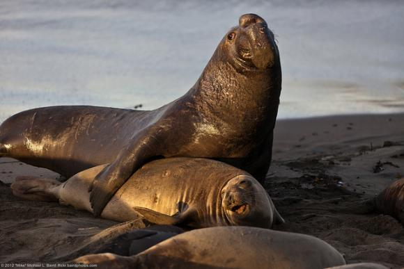 Romance time at Piedras Blancas. Photo credit to Mike Baird / Creative Commons