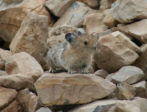 "Climate change could threaten the American Pika, which lives in mountain regions and requires low temperatures to survive. Photo by Glacier NPS / <a href=""https://creativecommons.org/licenses/by/2.0/legalcode"" target=""_blank"">CC</a>"