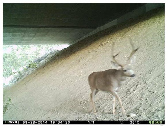 Wildlife cam image of a black-tailed deer crossing safely under a  highway courtesy Road Ecology Center.