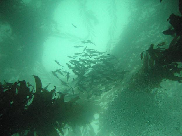 A school of rockfish south of Monterey Bay.  Mark Cosy photo CC BY-SA 2.0