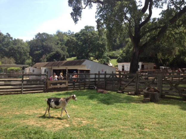 Goats, along with pigs, chickens and a cow, make their home at Deer Hollow Farm. Eric Johnson photo.