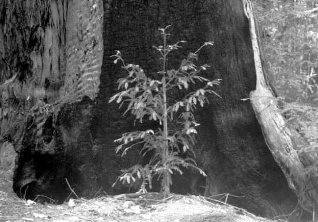 4. While there are 2,000-year-old redwoods in our neighborhood, most of the redwoods we see are much, much younger. (More below.) Photo courtesy Sempervirens Fund.