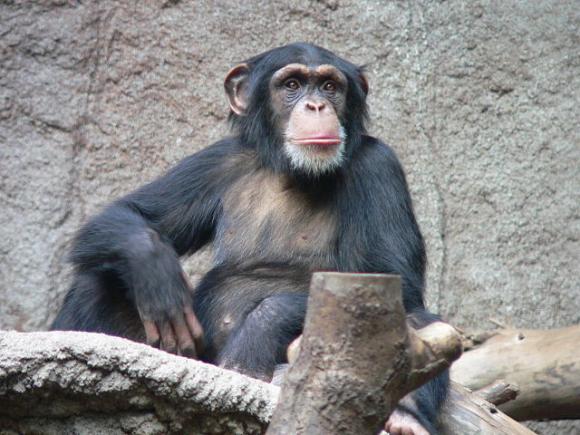 A common chimpanzee. Photo by Thomas Lersch / CC