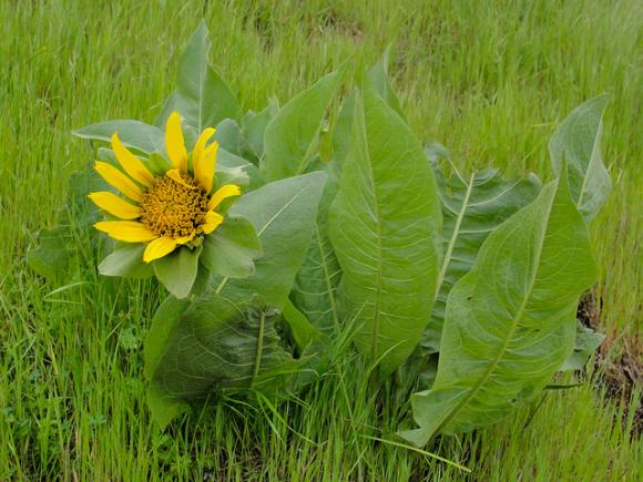 Mule's ear at Pescadero Creek County Park. Photo by Miguel Vieira/CC.
