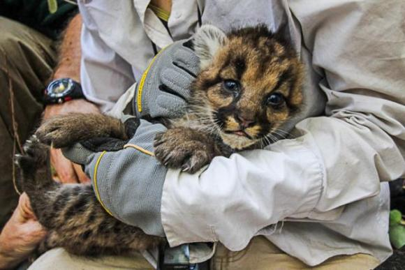 Mountain lion kitten known as '40F' in the arms of a researcher from the Santa Cruz Puma Project. Photo by Yiwei Wang.