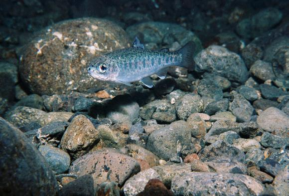 A juvenile steelhead trout in an Olympic Peninsula creek. Photo by Roger Tabor.
